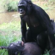 bonobo-sex