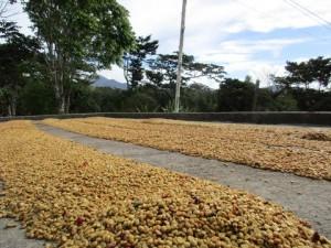 5LBS Guatemala Las Hamacas Unroasted Coffee Beans