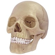 4D Master 26086 Human Anatomy Exploded Skull Model 3D Puzzle, One Color