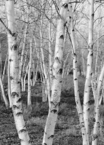 Birch Trees picture black and white art print, photo paper or canvas, large B&W wall décor, 5x7 to 30x45 inches