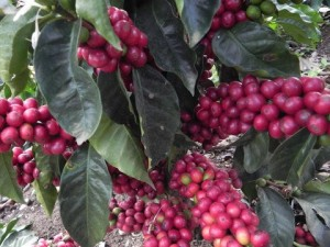 5LBS Ethiopia Natural Harrar Mesela Unroasted Green Coffee Beans