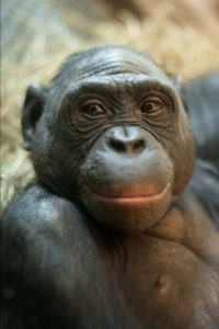 Bonobo Monkey Portrait Journal: 150 page lined notebook/diary
